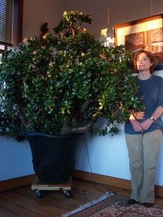 This is my mother, giving a little scale to the jade plant we've had for about 15 years, now... It is on wheels so we can roll it out onto the porch in the summer. Squeezing it through the door is our way of pruning it, haha