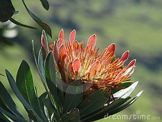 Photo about A flower of protea, the simbol of South Africa, is in South Drakensberg mountains. Image of close, leaf, summer - 4542060 Desert Plants, South Africa, Leaves, Graphic Design, Stock Photos, Felting, Flowers, Victoria, Mountains