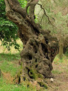 olive tree, olive, tree, corfu, greece