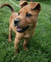 Ruby-   A cutie like Ruby can make any home just burst with energy! Ruby is a young pup looking for her forever home.   Click on Ruby's picture to find out more information.