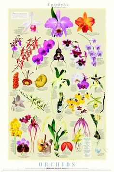 L. purpurata, C. mossiae, Sophrolaeliocattleya, E. corigera, Dendrobium, D. vampira, Miltonia, P. schilleriana, A. mimiatum, P. Kalihi, A. clowesii, A. sesquipedale, P. amabilis, P. Soroa Delight, Beallara, R. matutina, S. reichenbachia, Brassia maculata, Amesiella philippinensis, Oncidium Golden Viper, Vanilla, Bulbophyllum echinoabium, Cirrhopetalum, Cirrhopetalum medusae, Odontoglossum Parade, Coryantes gernotii, Masdevalia ignea, Platystele stenostachya, Lycaste aromica, Brassavola…