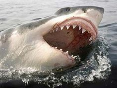 Great White Shark with mouth open at surface of water. Teeth showing: Great white sharks 'as endangered as tigers' Orcas, Great White Shark Facts, Tierischer Humor, Human Teeth, Big Teeth, The Great White, Shark Bites, Ocean Creatures, Tier Fotos