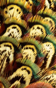 pheasants have the best coloring!   #bowties