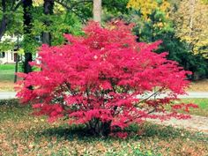 Burning bush, a great fall color plant. More fall color favorites here: http://eaglesonlandscape.com/adding-fall-colors-landscape/
