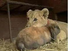 Lion Cub&Bunny Unlikely Buddies ❤