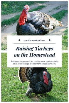 Raising turkeys on the homestead can provide quality meat and save the heritage breeds from the endangered list too! Raising Farm Animals, Raising Chickens, Turkey Farm, Tom Turkey, Building A Chicken Coop, Chickens Backyard, Backyard Farming, Backyard Ducks, Vegetable Garden