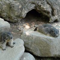 Las marmotas del Pirineo.