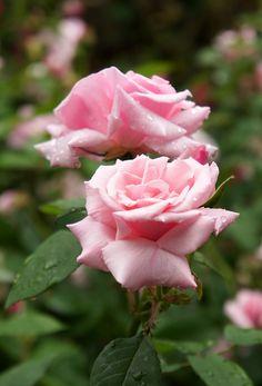 Rose Blush Damask