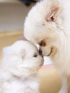 12 Reasons Why You Should Never Own Pomeranians
