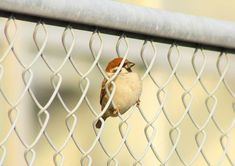 Sparrow in a chain linked fence. http://hamusoku.com/archives/8923830.html