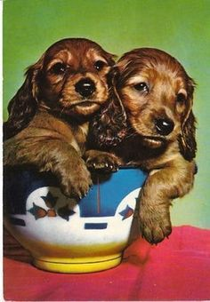 Vintage postcard - two dachshund puppies in a colorful bowl