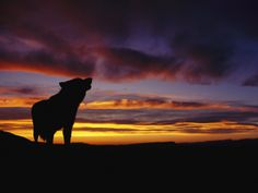 Silhouette of a Gray Wolf at Sunset Photographic Print by Norbert Rosing at Art.com