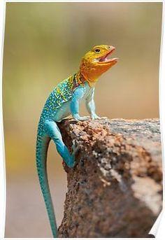 Male Eastern Collard Lizard, Wichita Mountains, Oklahoma Poster
