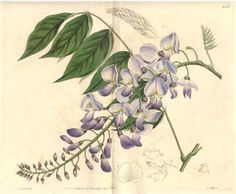 Gorgeous wisteria botanical drawing. If I were to get a tattoo, this is the style I'd want.