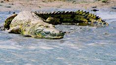 animals crocodile