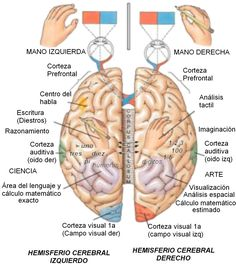 areas cerebro lenguaje vista decisiones - Buscar con Google