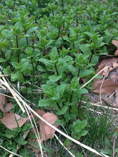 Spearmint (mentha spicata): A European perennial that spreads to form patches. Distinctively aromatic. Dies down in winter; returns in spring.