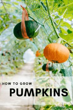 Pumpkins are rewarding plants to grow and really earn their large patch of real estate in the garden with their show stopping fruit production. There are several things that you can do to help your pumpkins thrive and grow to their fullest potential. Check out our list of tips for how to grow a bumper crop of pumpkins in your garden this year. How To Grow Pumpkins, When To Plant Pumpkins, Planting Pumpkins, Planting Flowers, Growing Vegetables, Fruits And Veggies, Organic Mulch, Pumpkin Flower, Starting A Garden
