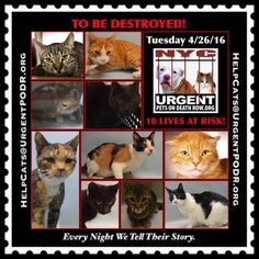 ++NY++ 10 PRECIOUS LIVES TO BE DESTROYED 04/26/16 - - Info Please Share: 10 CATS TO BE DESTROYED Please Share: - Click for info & Current Status: http://nyccats.urgentpodr.org/montage-071215/
