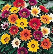 High Heat Flowers For Hot Summer Areas.  The flowers pictured are Gazanias, bright trailing annual.  (Gazania Rigens)