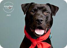 Kansas City, MO - Labrador Retriever Mix. Meet Jack, a dog for adoption. http://www.adoptapet.com/pet/17581984-kansas-city-missouri-labrador-retriever-mix