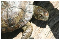 turtle on log photography fineartamerica print