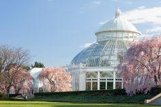Cherry trees in New York Botanical Garden  www.nybg.org