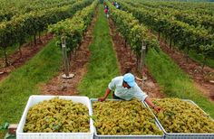 Muscadine grape harvest in North Carolina occurs in late August through early October.