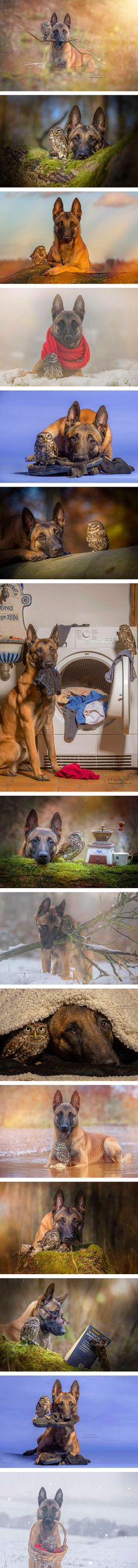 I wouldn't have believed that an owl and a dog could become best friends until I saw these surprising and adorable photos by Tanja Brandt, a professional animal photographer and collage artist in Germany. Ingo the shepherd dog and Poldi the little owl seem more than happy to cozy up to each other for photoshoots bathed in golden evening light.