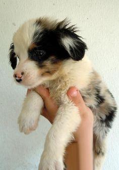 Miniature Australian Shepherd Puppy - so cute