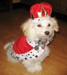 Maltese were once pets to royalty, so why not show em who's king?
