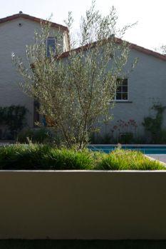 Glendale - June Scott Design Fruitless Olive in raised bed