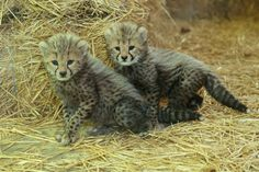 one month old cheetah cubs, triplets born on Apri 16, 2014, at the Zoo Vienna