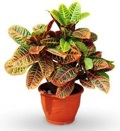 Increase Some Modern Day Design For Your Front Room With Art Deco Coffee Tables 23 Easy Plants You Can Grow At Home Indoor Bamboo Plant, Bamboo Plants, Indoor Plants, Calathea, Easy To Grow Houseplants, Grands Pots, Belle Plante, Iron Plant, Purifier