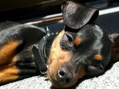 """Check out our web site for more relevant information on """"Pinscher pups"""". It is actually an outstanding area to learn more. Mini Pinscher, Miniature Pinscher, Doberman Pinscher, Akita, Miniature Doberman, Teacup Puppies, Cute Animal Photos, Losing A Dog, Dog Pictures"""