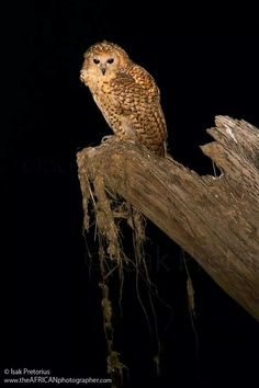 "A jewel for bird watchers Sout Africa - the shy and elusive ""The pel's fishing owl"""