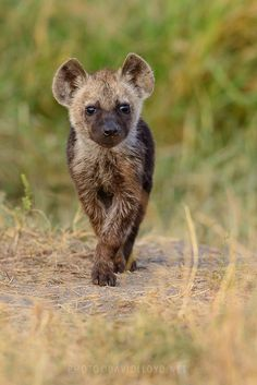 """""""Don't let anyone tell you that hyenas cannot be cute. The correct vernacular is 'cub', but I'm happy with 'pup'."""""""