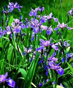 We sell American native perennials, trees & shrubs, ferns, grasses and more. Find species native to your state, and purchase them online here. Blue Flag, Garden Flags, Blue And White, Yellow, Landscape Design, Iris, Pennsylvania, Earth, Colours