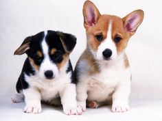 Two little dogs. Find more dog breads at: http://little-dogs.com