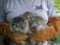 """""""Pallas"""" Kittens - When breeding does happen the male has to get in quickly as oestrus usually only lasts just under two days. It usually births up to six kittens, very rarely a single one, and it is believed that the size of its litters reflect the high rate of mortality the infant cats can expect."""