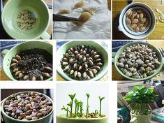 How to Plant Lemon Seeds