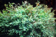 Darwinia citriodora • Australian Native Plants Nursery • Plants • 800.701.6517