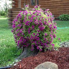 My living stump, Picasso's Petunias.