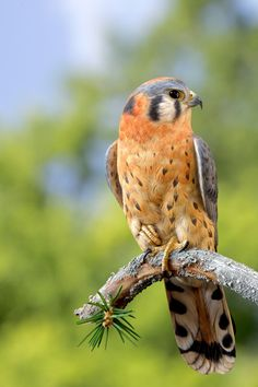 Windfall, American Kestrel...still have a hard time believing it, but this is supposedly carved.  If so, amazing talent!