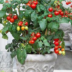 Pensastomaatti Heartbreaker F1 Planter Pots, Spring, Stuffed Peppers, Vegetables, F1, Flowers, Gardening, Heart, Stuffed Pepper