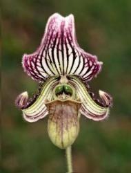 Le sabot de Vénus est une petite orchidée terrestre qui s'accommode des pièces les plus sombres de la maison. Sa fleur, de couleur blanche, jaune, rose ou lie de vin, se reconnaît à son labelle insolite en forme de sabot. par Audrey