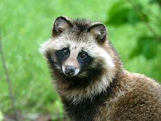 たぬき3 Raccoon dog. Photo from KayaSumi PhotoLog.