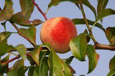 Pfirsichbaum richtig pflegen