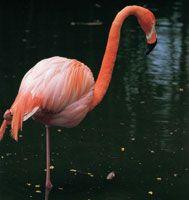 El flamenco es un ave migratoria de hermoso plumaje. Esta especie ocupa una distribución muy amplia que incluye el sur de Florida hasta la Guyana y el estuario del Amazonas en el Brasil.