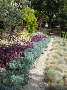 "Instead of installing a traditional lawn, this homeowner created a ""living tapestry"" using ground cover plants. There is lime-colored Helichrysum, purple, Trandescantia, silver/green Senecio, with a bisecting pea gravel path.To the left of the path is  clumping Festuca glauca, ""Elijah Gray.""The contrasting foliage color and texture will impart a dynamic look to the  garden year-round."